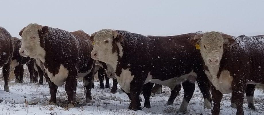 2021 Sale Cattle Photos